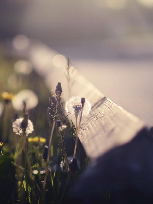 蒲公英植物群手机壁纸