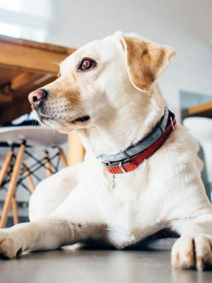 动物狗宠物室内手机壁纸