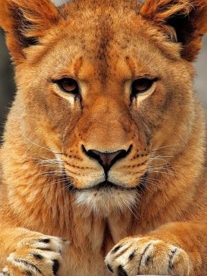 动物狮子手机壁纸