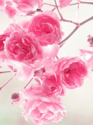 粉红玫瑰鲜花移动壁纸