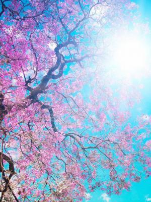 盛开的春天手机壁纸