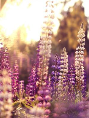 羽扇豆花紫色手机壁纸