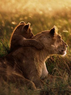 非洲狮子手机壁纸