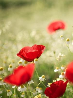 罂粟花和洋甘菊手机壁纸