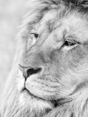 灰度狮子手机壁纸