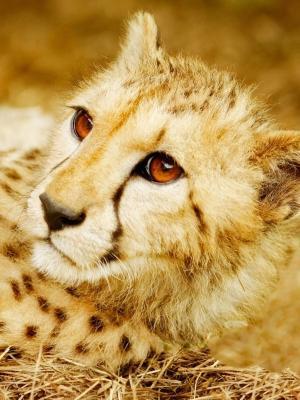 大猫Gepard手机壁纸