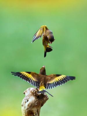 金翅雀鸟手机壁纸