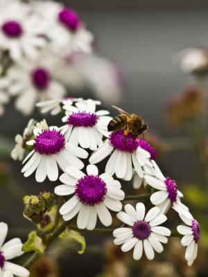 美丽的白花移动壁纸上的一只蜜蜂