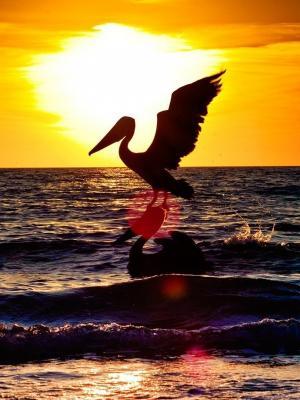 日落与两个鹈鹕移动壁纸