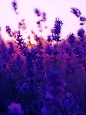 花薰衣草植物紫色的移动壁纸
