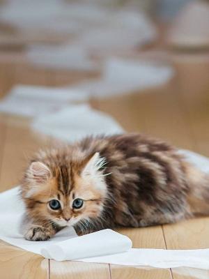 小猫宠物卫生纸移动壁纸