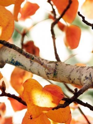 秋天树手机壁纸
