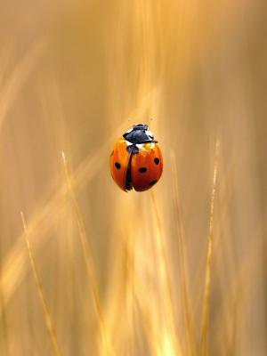 夫人Bug手机壁纸
