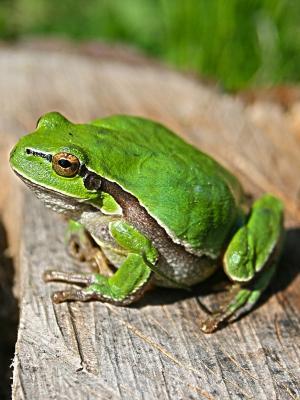 动物绿色青蛙手机壁纸