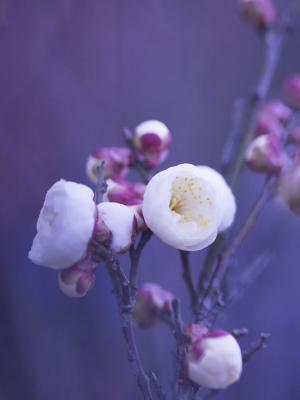 春天的花朵花瓣移动壁纸