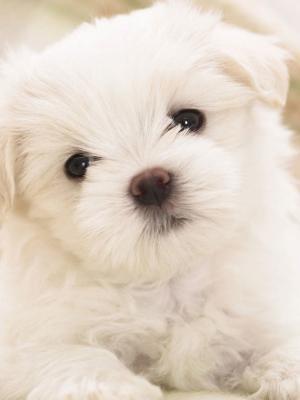 白色蓬松小狗手机壁纸