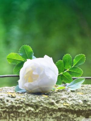温柔的玫瑰手机壁纸