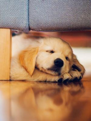 小狗猎犬休息手机壁纸
