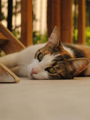 猫说谎手机壁纸