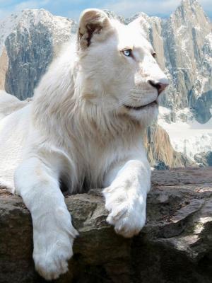 猫科动物白狮子手机壁纸