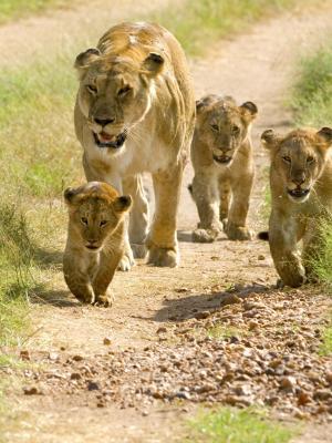 狮子幼崽手机壁纸