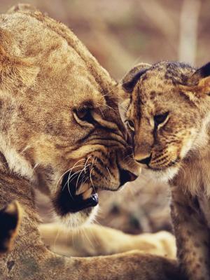 重复的狮子野生移动壁纸