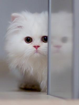 可爱的白猫手机壁纸