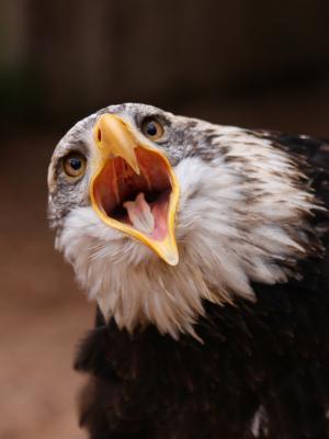 鹰鸟手机壁纸