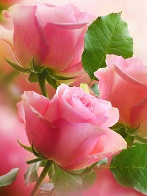 3淡粉色玫瑰手机壁纸
