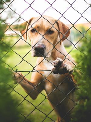 在移动墙纸后面的金毛猎犬