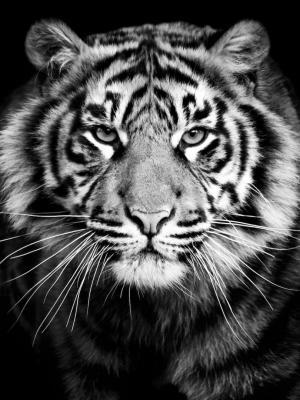 tigr hischnik krupnym planom手机壁纸