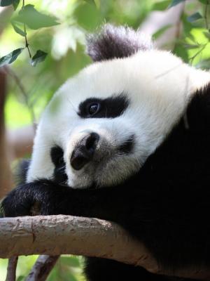熊猫斑点移动墙纸