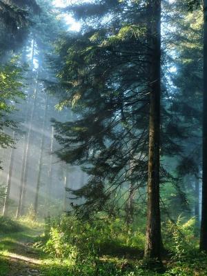 厚厚的森林移动壁纸
