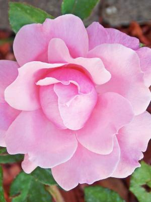 花园粉红色美女手机壁纸