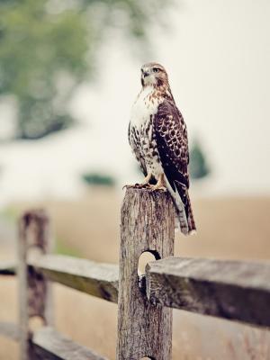场猎鹰鸟围栏移动壁纸