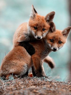 动物狐狸手机壁纸