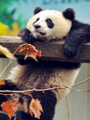 熊猫手机壁纸
