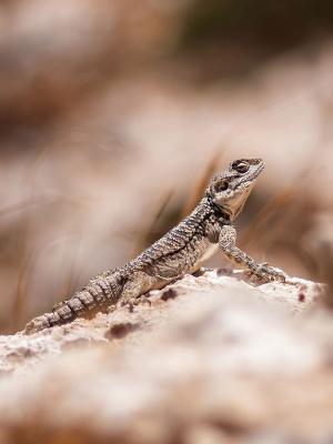 蜥蜴爬行动物自然模糊移动壁纸