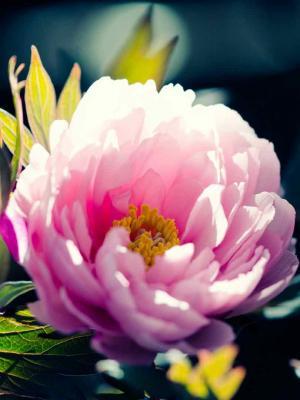 美丽的粉红色花朵手机壁纸