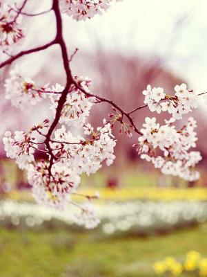 春天的花朵盛开移动壁纸