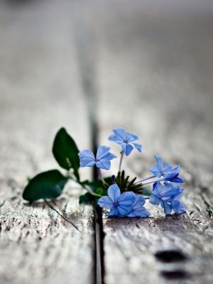 蓝色花朵手机壁纸