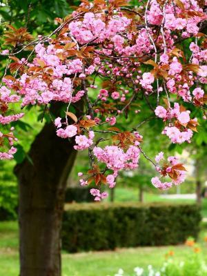 樱花绽放手机壁纸