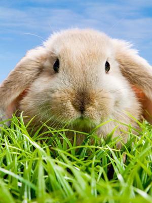 春天兔子手机壁纸