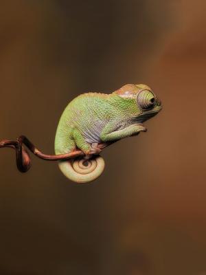 变色龙颜色野生动物手机壁纸