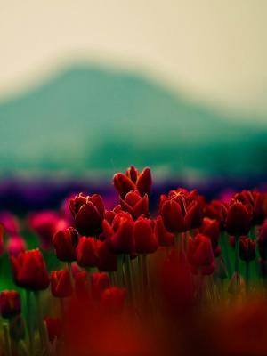 红色的花朵郁金香移动壁纸