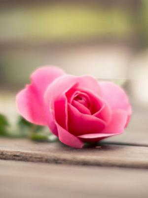 花粉色玫瑰散景移动壁纸