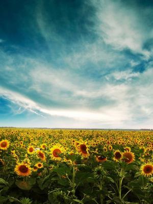 向日葵景观手机壁纸