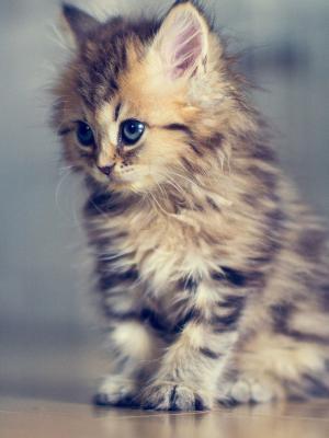 婴儿猫手机壁纸