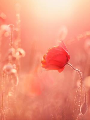 罂粟花夏季光移动壁纸