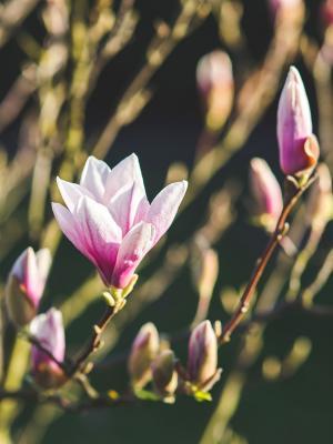 自然花植物春天手机壁纸